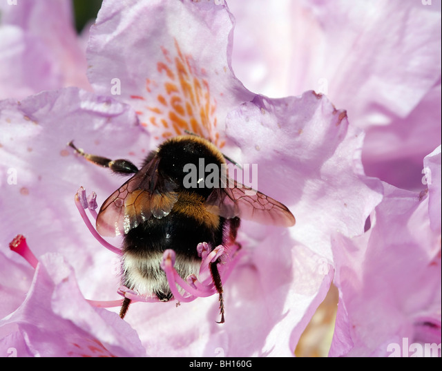 pollination - humble bee in the bloom of rhododendron - Stock Image