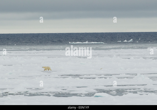 Polar Bear walking across ice, Svalbard, Norway, (Ursus maritimus) - Stock-Bilder