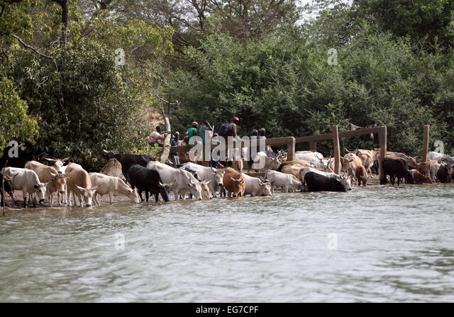 Domestic cattle herd drinking in River Gambia in Senegal - Stock Image