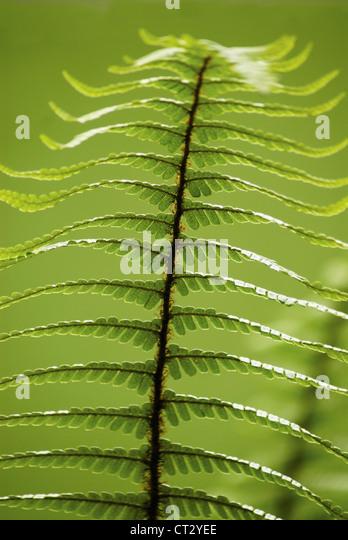 Dryopteris wallichiana, Wallich's wood fern, single green upright frond against a green background. - Stock Image