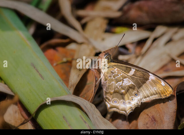 Yellow Woodbrown, Lethe nicetas, butterfly on dry leaves with copy space - Stock Image
