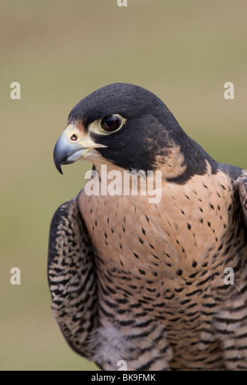 Close-up of a Barbary falcon (Falco pelegrinoides) - Stock-Bilder
