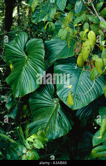 Epiphytic climbing Philodendron in Tropical Rain Forest Chocó Department Colombia - Stock Image