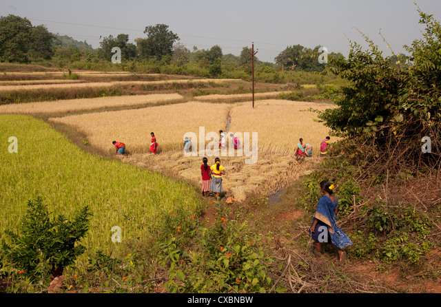 Village women harvesting rice crop by hand, Rayagada, Orissa, India, Asia - Stock Image