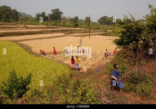 Village women harvesting rice crop by hand, Rayagada, Orissa, India, Asia - Stock Image