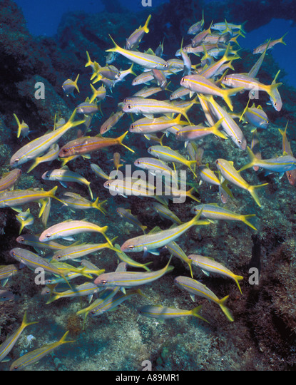 Underwater schooling fish on wreck - Stock Image