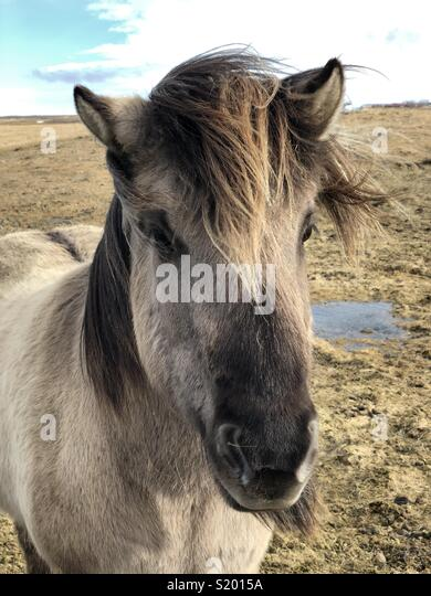 Icelandic horse - don't call them ponies ;-) - Stock Image
