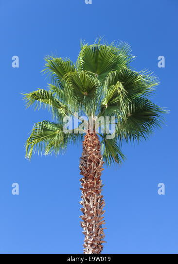Palm Tree, Los Angeles, California, USA. - Stock Image