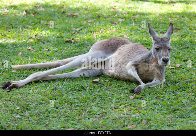 Red Kangaroo lying in the grass, Queensland, Australia - Stock Image