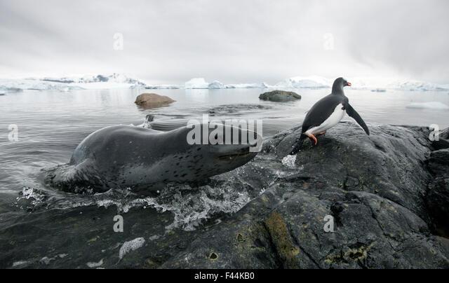 Leopard seal (Hydrurga leptonyx) hunting Gentoo Penguin (Pygoscelis papua) into shore, Cuverville Island, Antarctic - Stock Image