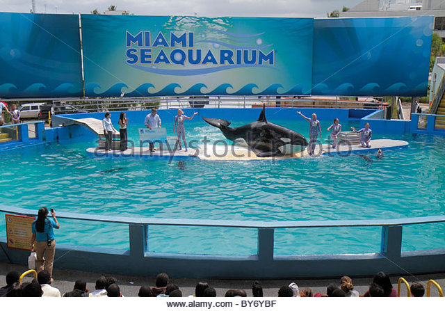 Miami Key Biscayne Florida Miami Seaquarium Lolita killer whale orca 40th anniversary performance - Stock Image