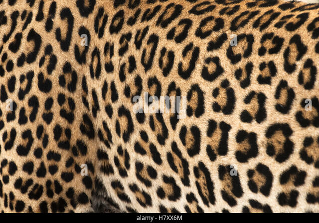 Close up of the spotted skin of the Leopard (panthera pardus), Sabi Sand Game Reserve; South Africa - Stock Image