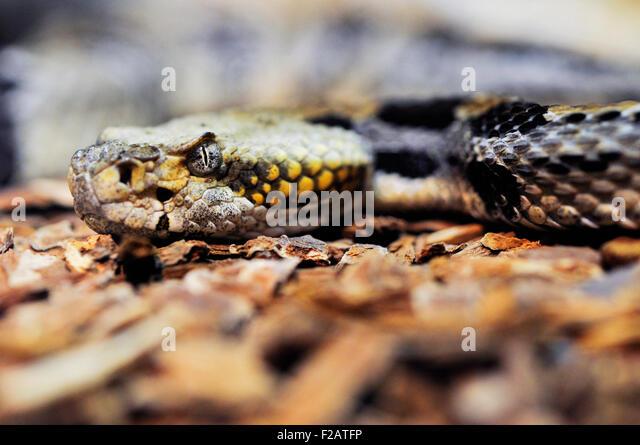 Venomous Rattlesnake - Stock-Bilder