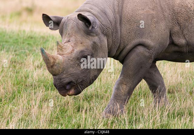 Black Rhinoceros (Diceros bicornis) grazing - Stock Image