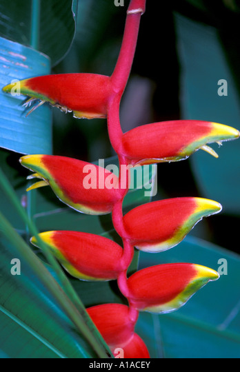St Lucia  rain forest red  lobster claw heliconia flower - Stock Image
