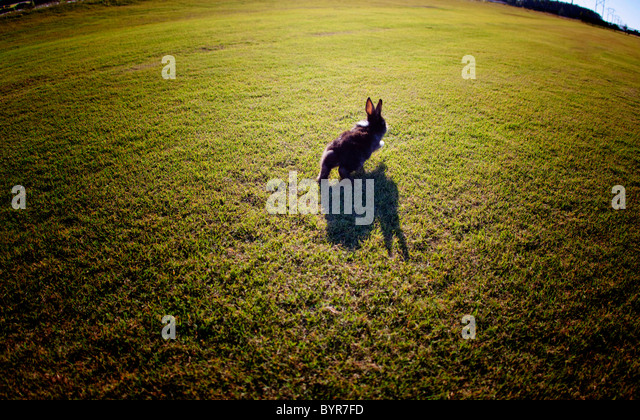 Bunny rabbit hopping through grass on sunny day - Stock Image