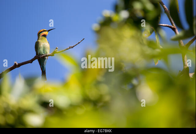 Rainbow bee-eater photographed in Cairns, Australia - Stock Image