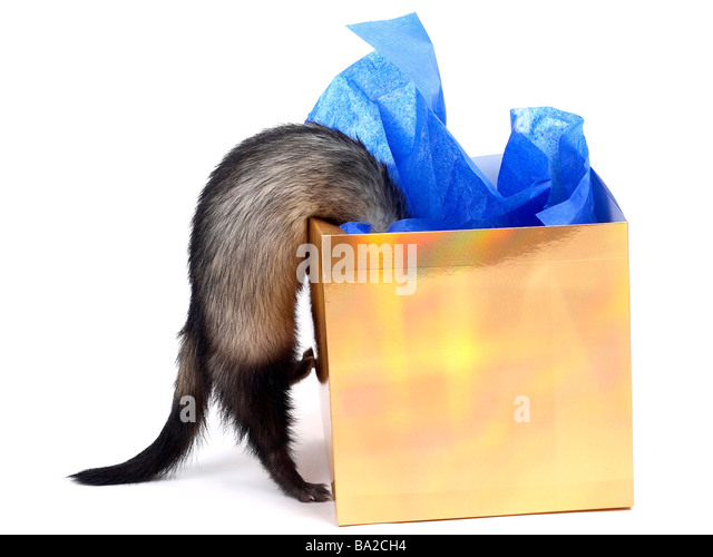A cheeky naughty ferret looking inside a box. - Stock Image