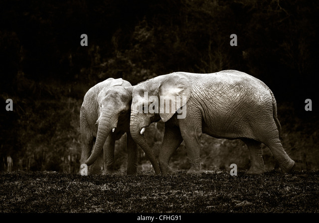 Two young African elephants, Cabarceno, Spain - Stock Image