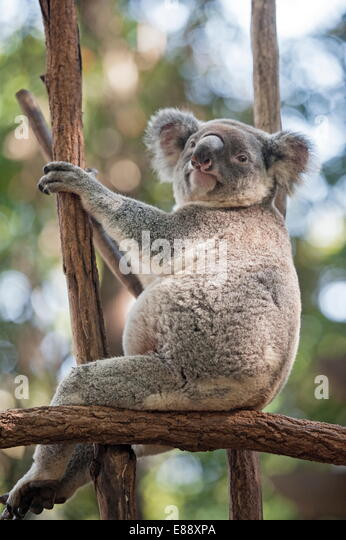 Koala (Phascolarctos Cinereous) resting in tree, Lone Pine Koala Sanctuary, Brisbane, Queensland, Australia, Pacific - Stock Image