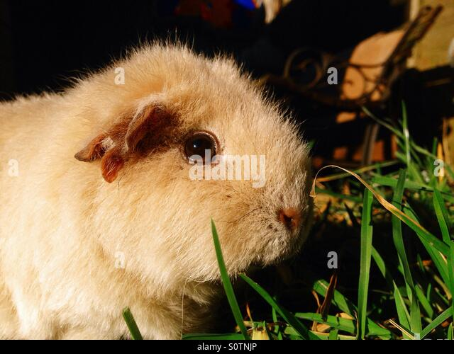 Cute guinea pig - Stock Image