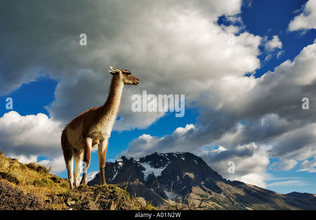 Guanaco Lama guanicoe Guanaco standing on hillside Torres del Paine National Park Chile South America - Stock-Bilder
