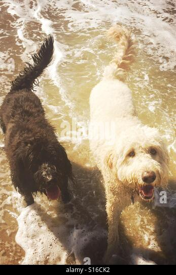 Two labradoodles dogs at the beach. Huntington Beach, California USA. - Stock Image