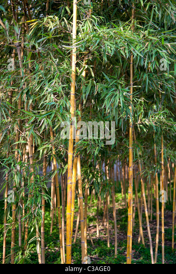 Bamboos in Suzhou classical garden, China  -  Bamboos at 'The Humble Adrninstrator's Garden', one of - Stock Image