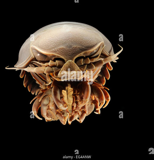 Isopod Stock Photos & Isopod Stock Images - Alamy
