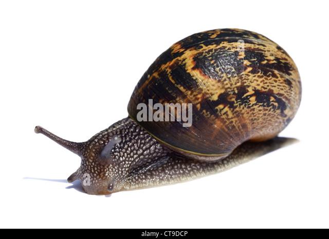 Common brown garden snail - Stock Image