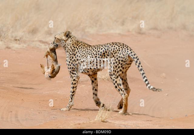 Africa, Kenya, Samburu National Reserve, Cheetah (Acinonyx jubatus) carries a hunted rabbit in its mouth back to - Stock Image