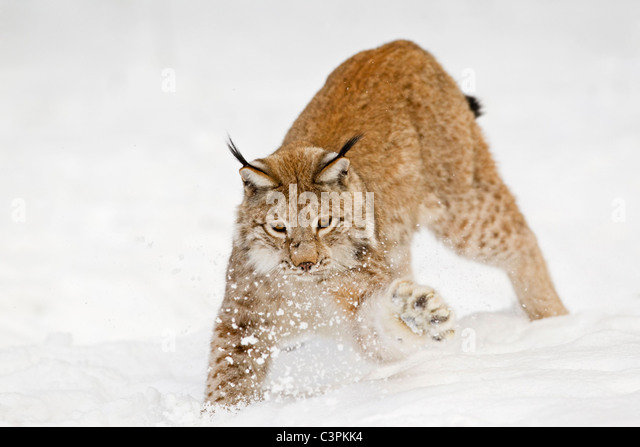 Germany, Bavaria, European lynx playing in snow - Stock Image