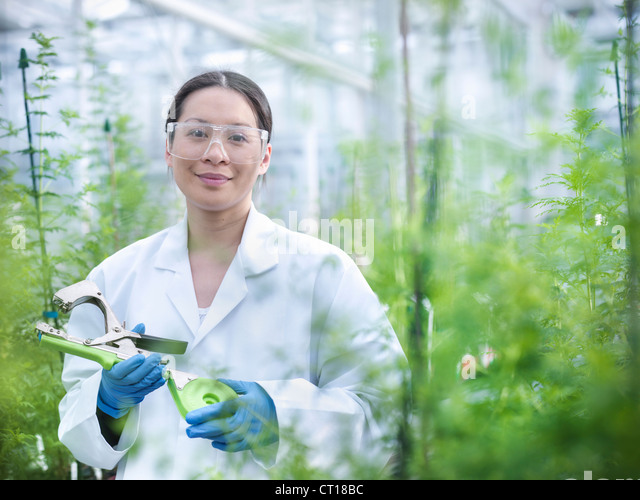 Scientist examining plant in greenhouse - Stock Image