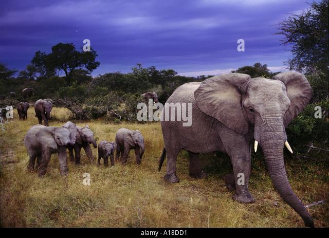Elephant family at dusk Sabie Sands South Africa - Stock-Bilder