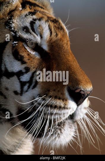 Siberian Tiger, Northern China - Stock Image