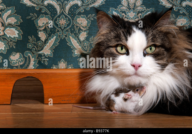Cat and mouse in a luxury old fashioned room - Stock Image