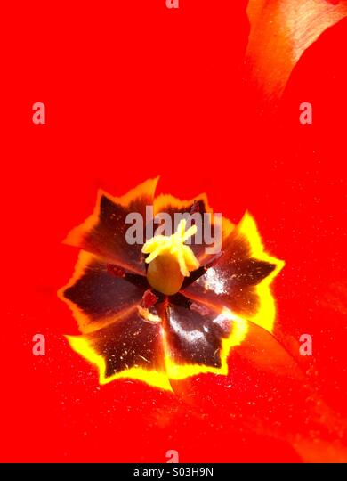 Macro of a red tulip flower stamen. - Stock Image