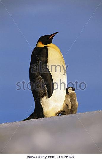 Emperor penguin with chick Aptenodytes forsteri Antarctica Antarctica - Stock Image
