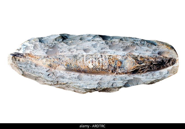 Fish Fossil Detail Inside a Stone Cut Out probably Dastilbe elongatus - Stock Image