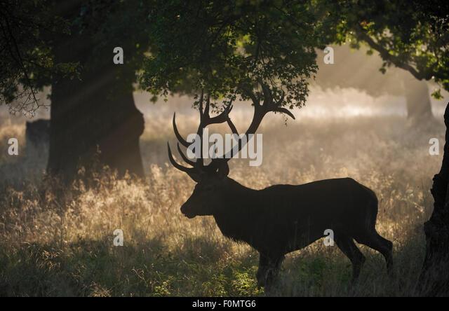 Red deer (Cervus elaphus) stag silhouetted under trees during rut, Klampenborg Dyrehaven, Denmark, September 2008 - Stock Image
