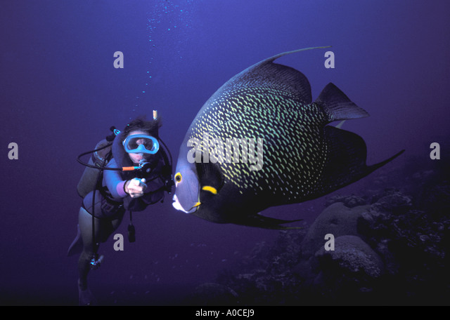 Underwater diver angelfish - Stock Image
