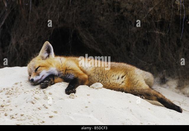 Red Fox Vulpes vulpes young resting at den Raleigh Wake County North Carolina USA - Stock Image