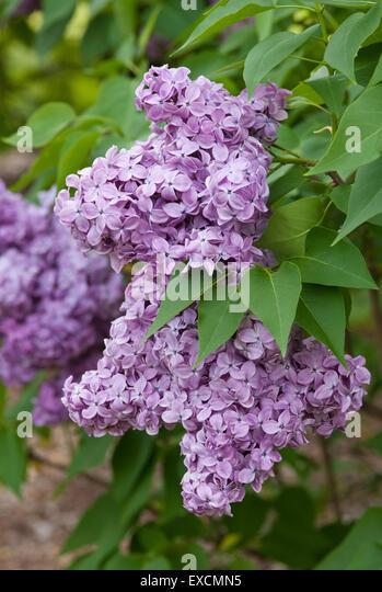 Lilac - Syringa vulgaris Congo - Stock-Bilder