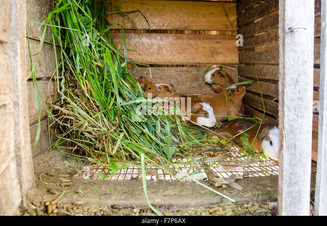 Guinea Pigs in a hutch - Stock Image