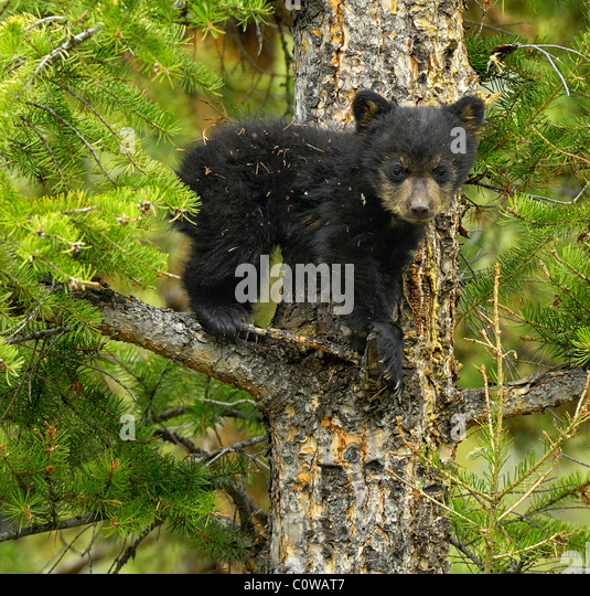 Baby Black Bear in a Tree. - Stock Image