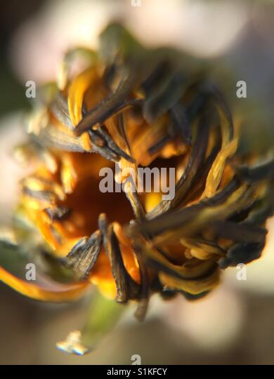 Old flower bud - Stock Image