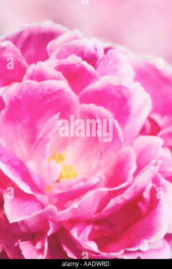 Peony flower close-up - Stock Image