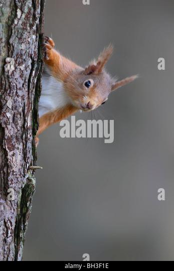 Red Squirrel, Sciurus vulgaris, in spring. Strathspey, Scotland - Stock Image