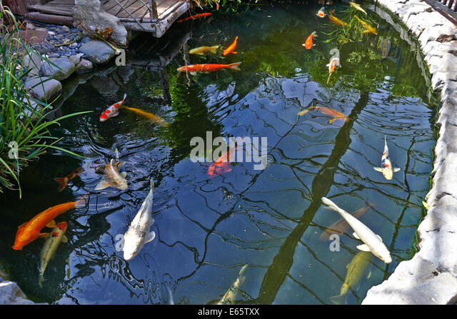 Butterfly koi stock photos butterfly koi stock images for Koi fish environment