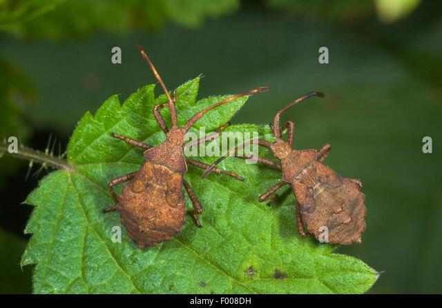 Squash bug (Coreus marginatus, Mesocerus marginatus), two larvae on a leaf, Germany - Stock Image